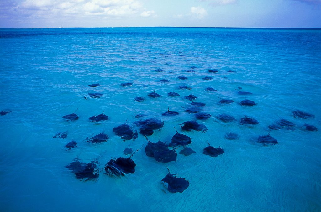 cayman stingrays